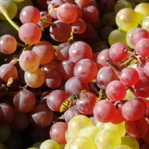 Winogrono