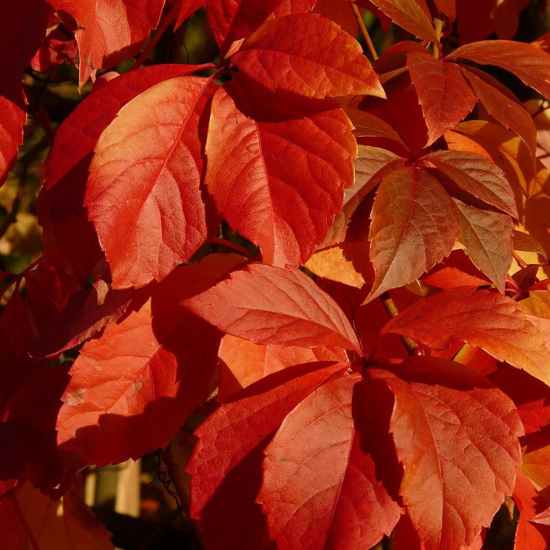 Winobluszcz pięciolistkowy jesienią
