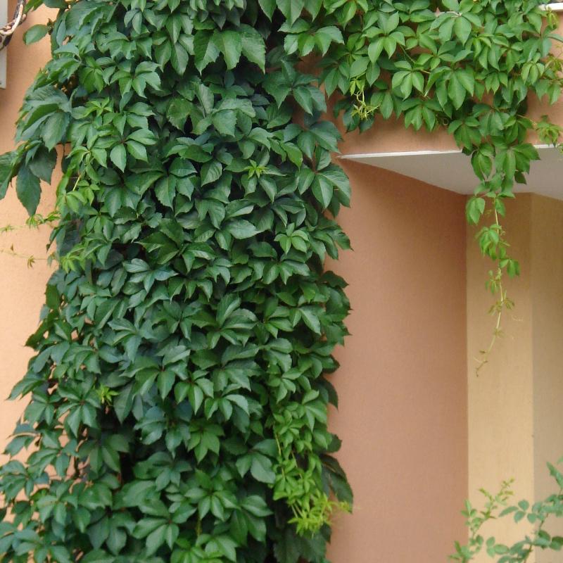 Winobluszcz pięciolistkowy Murorum