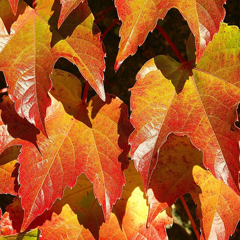 Winobluszcz Veitchii jesienią