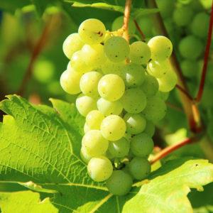 Grono winorośli