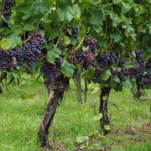 Winorośl winnica