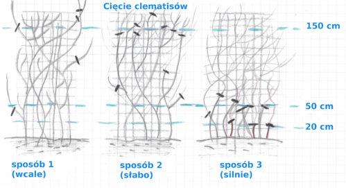 ciecie-clematisow-rysunek-zdjecie