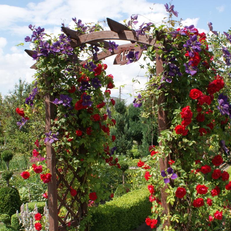 Róża pnąca z powojnikiem Etoile Violette na pergoli